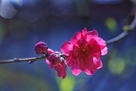Red plum blossoms Stock Photo - 18090594