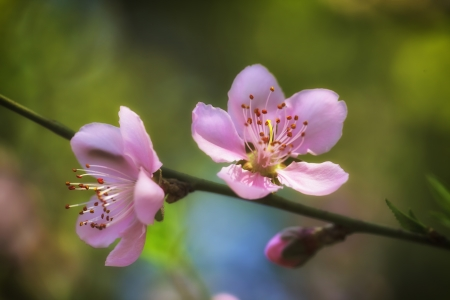 Pink plum blossoms Stock Photo - 18090595