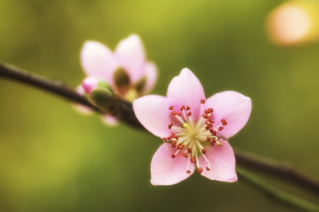 Full-face of pink plum blossoms photo