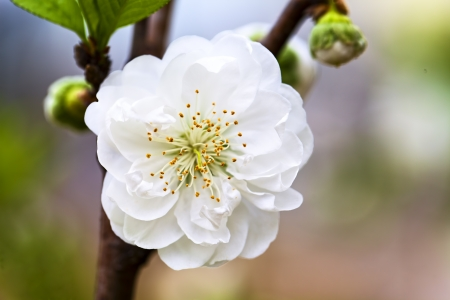 One peach blossom in spring Stock Photo - 18236377