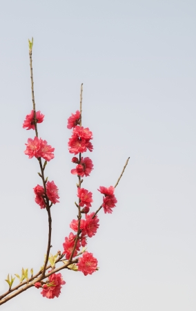 Red peach blossom Stock Photo - 18236376