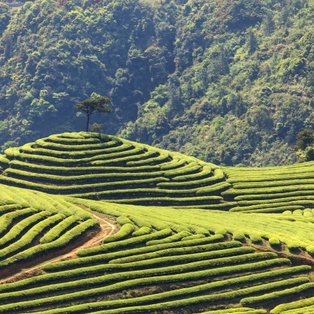 Tea Plantation Stock Photo - 19084984