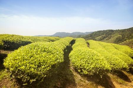Tea Plantation Stock Photo - 19084987