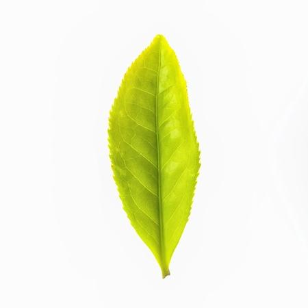 Feuille de thé vert isolé sur fond blanc Banque d'images