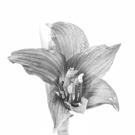 lirio blanco: Hippeastrum flor en blanco y negro Foto de archivo