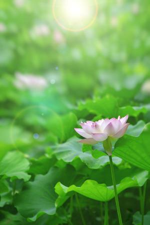 White pink lotus flower among green foliage Reklamní fotografie - 30204965