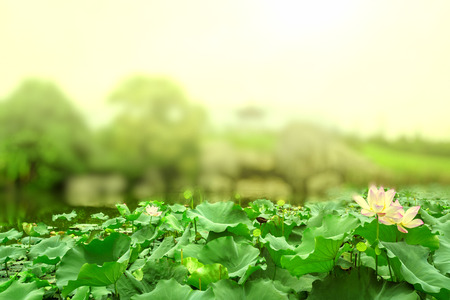 Lotus pond in blooming at noon and hazy background photo