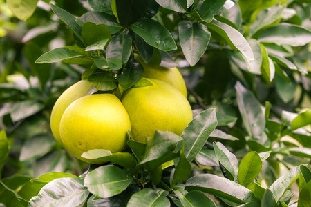 pummelo: Pomelo hanging on tree