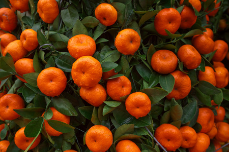Oranges fruits at tangerine trees photo