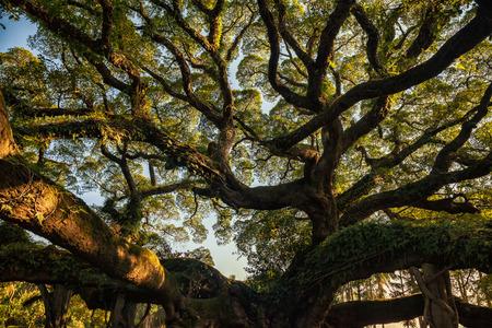 banyan tree: Ancient banyan trees