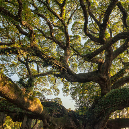 tree canopy: Ancient banyan canopy