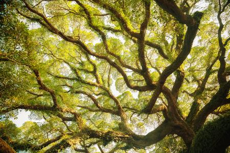 crecimiento planta: �rbol de higuera antigua Foto de archivo