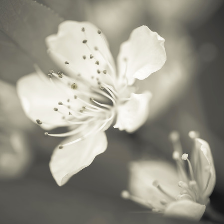 androecium: Cherry blossom, macro close-up shot scenes.