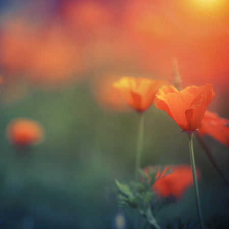 yellow wildflowers: Orange california poppy with space for your design Stock Photo