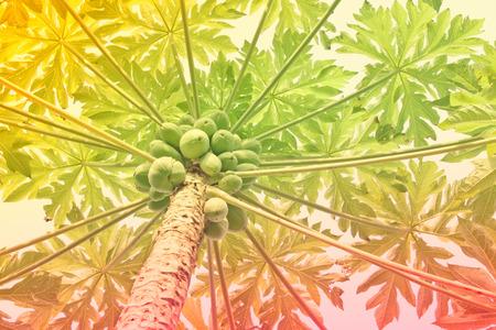 papaya tree: Papaya on papaya tree