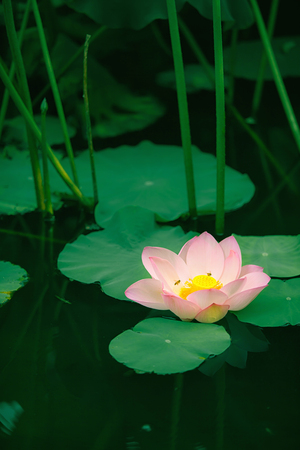 by virtue: Lotus bloomming at green leaves background Stock Photo
