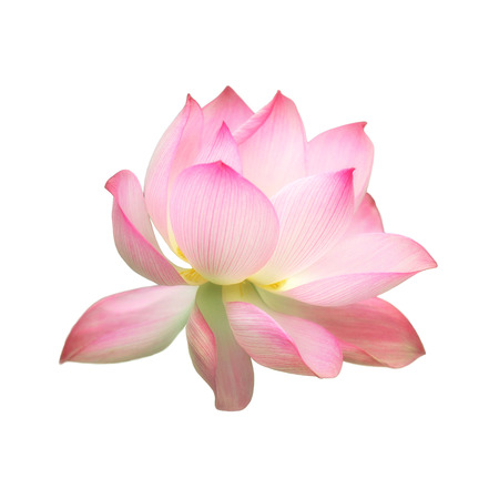 Single pink water lotus flower isolated on white background