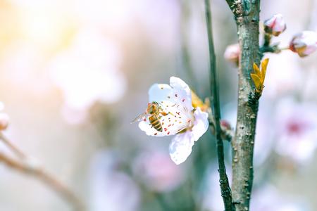 Blossoming plum Stock Photo