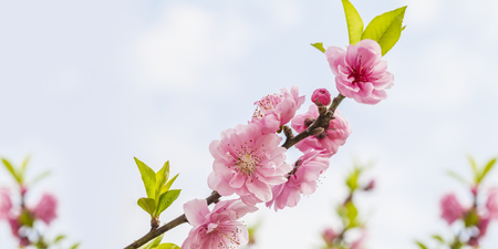 Peach Blossoms Stockfoto