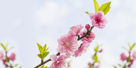 Peach Blossoms Standard-Bild