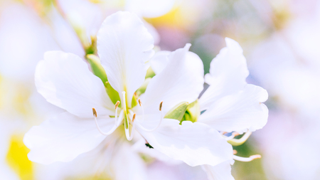 Closeup of beautiful Bauhinia Variegata light pink flower. Selective focus. Stock Photo