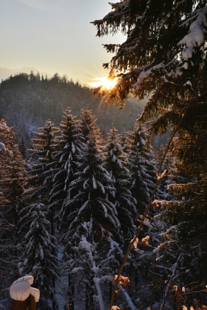 Sunset with winter pine forest