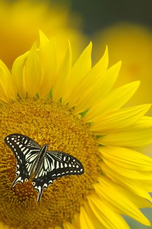 landed:  A beautiful butterfly landed on a sunflower