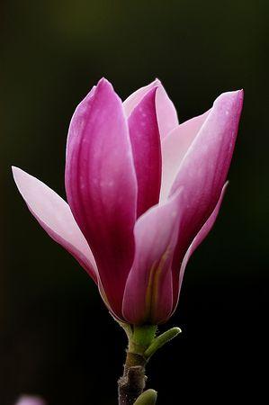 Pink Magnolia spent on a black background