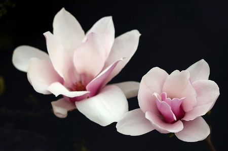 the magnolia:  Close-up of a pink magnolia.                                Stock Photo
