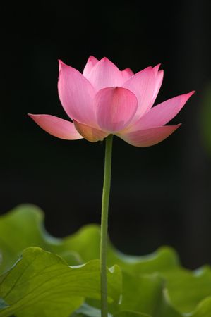beautiful chinese pink lotus flower stock photo, picture and, Beautiful flower