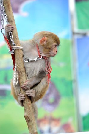 A monkey was confined chains
