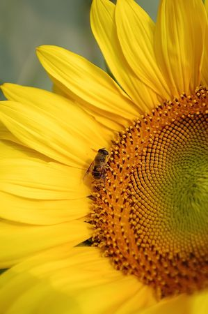Sunflower and bee. Close up Stock Photo - 6504393
