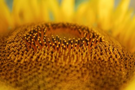 Close up of a sunflower Stock Photo - 6504394