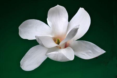 Close-up of a white magnolia Stock Photo - 6899019