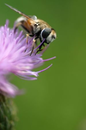 Bee at work on thistle                                 photo