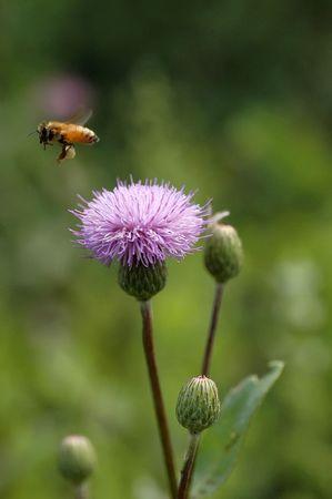 Honey bees is hard work                              photo