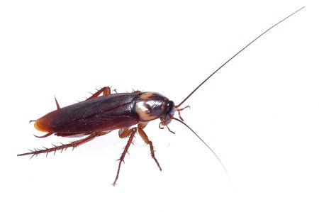 A cockroach crawling on a white background