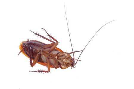 A dead cockroach on a white background Stock Photo