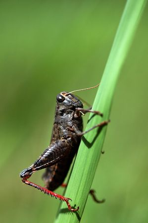 Grasshopper sitting on a blade of grass like vegetation.                               Stock Photo