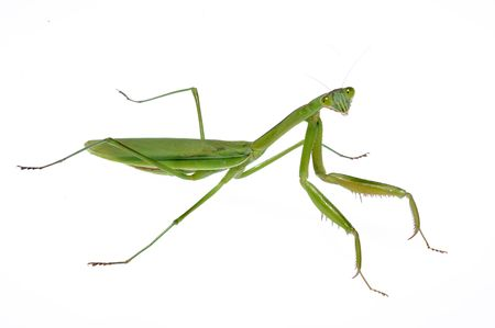 A green mantis crawling on a white background Stock Photo