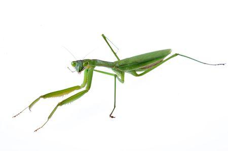 A praying mantis crawling on a white background Stock Photo