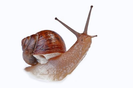 A snail crawling on a white background