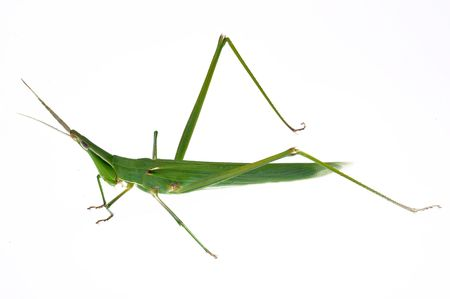A large grasshopper crawling on a white background