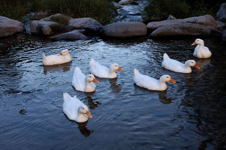 A group of ducks feeding in the blue and white brook                              Stock Photo