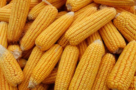 Together many of the golden corn