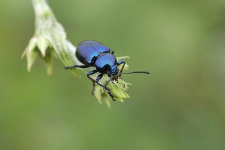 Blue beetle setting on the leaf