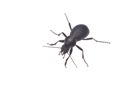 carabid: Ground beetle isolated on white background. Stock Photo