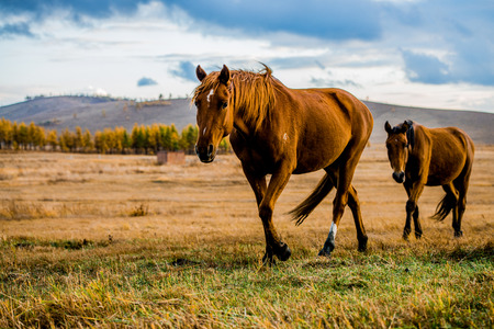 Marching two horses Stock Photo