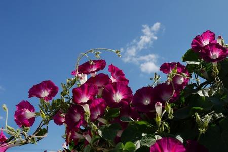 convolvulus: many of pink flowers convolvulus on blue sky background Stock Photo