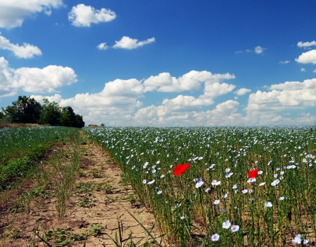 flowering young flax and blue sky with white clouds photo